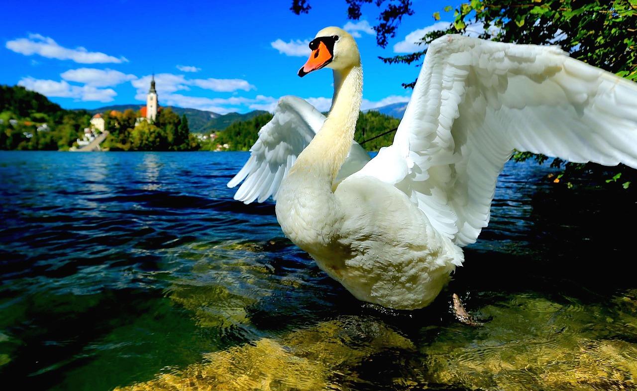 Bled Swan